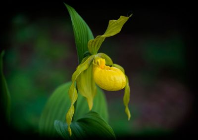 Yellow-lady's-slipper-rr